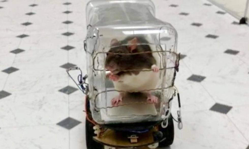 Rats trained to drive tiny cars find it relaxing, scientists report