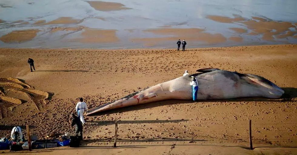 'Abnormal spike in deaths' as fin whales wash up on French shores