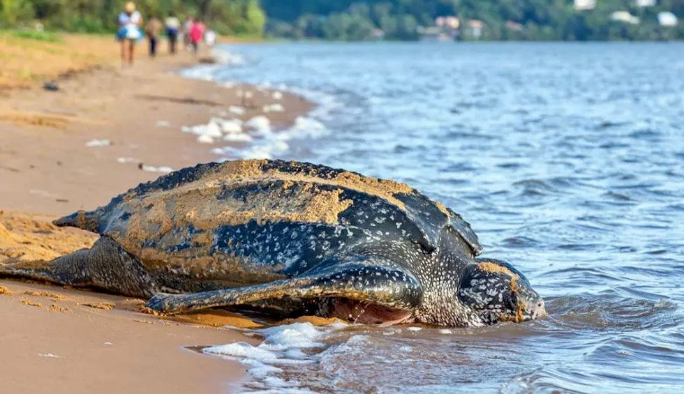 Ecuador finds nest of huge, endangered sea turtle