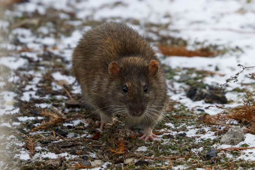 Why winter weather is no match for rats in America's 'rattiest city'