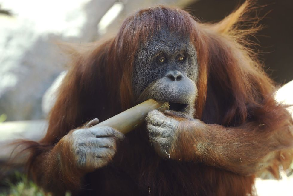 San Diego Zoo vaccinates apes against COVID-19