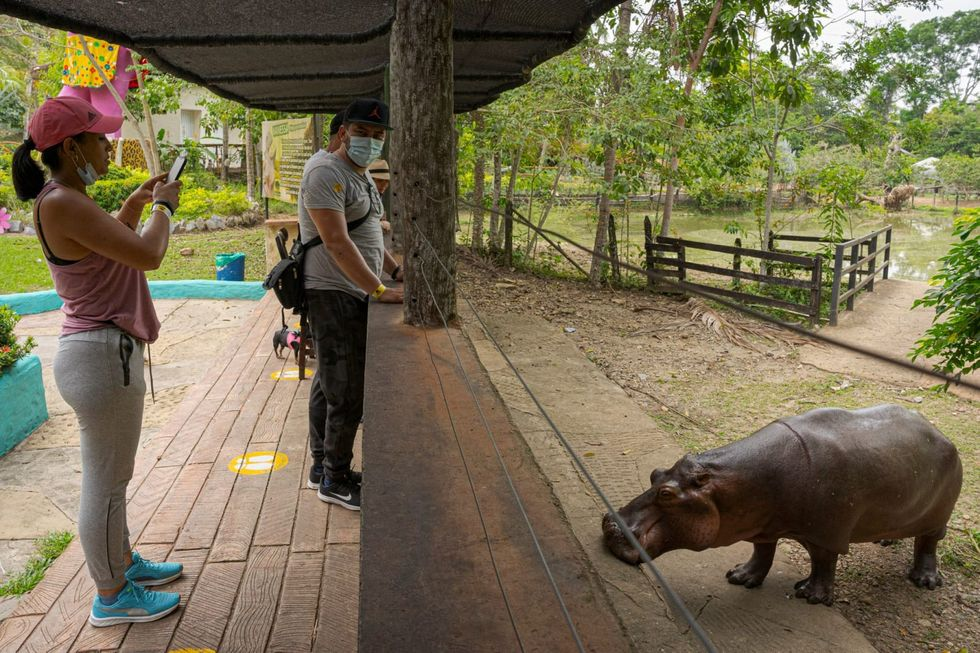 Where hippos are pets: Pablo Escobar's lasting legacy in Colombia