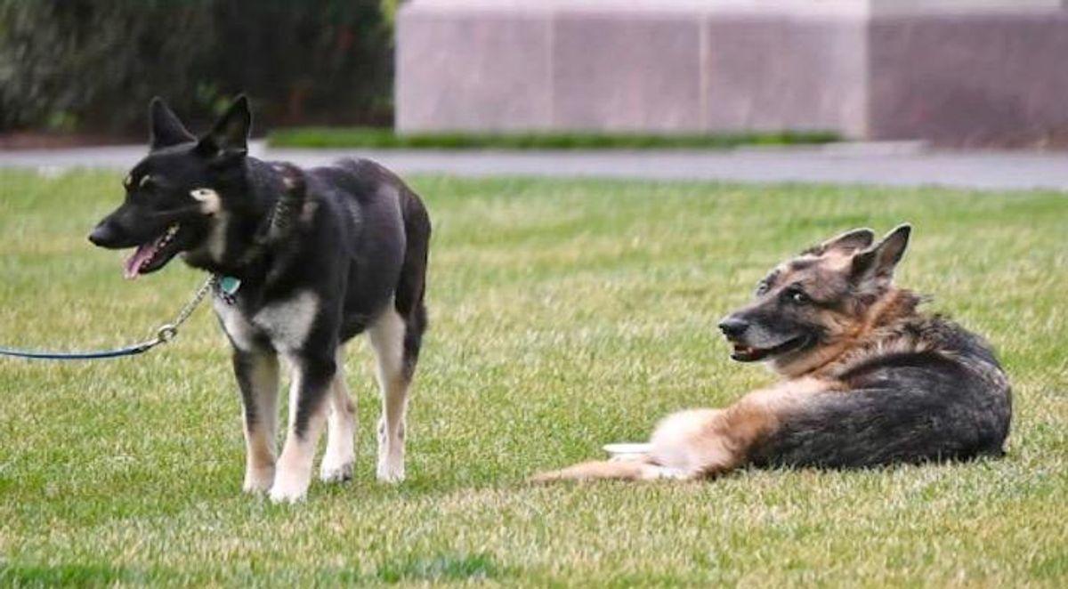 Bidens' dog Major leaves White House again -- to receive new training