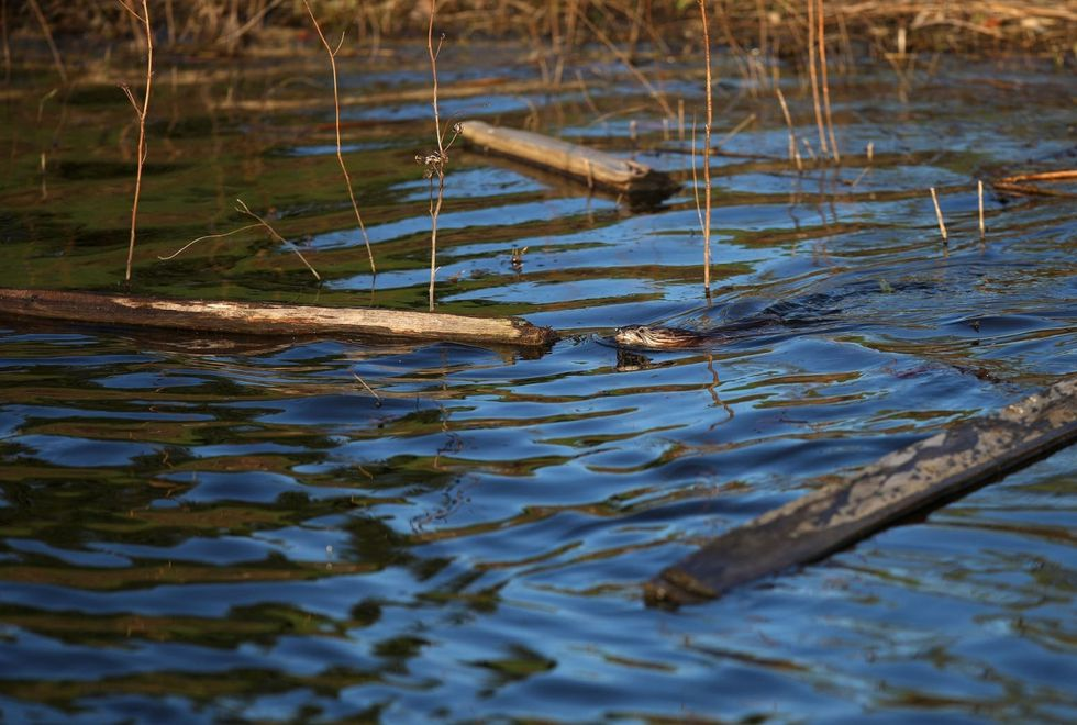 Hundreds of residents rally to save beavers that made a home in suburban neighborhood