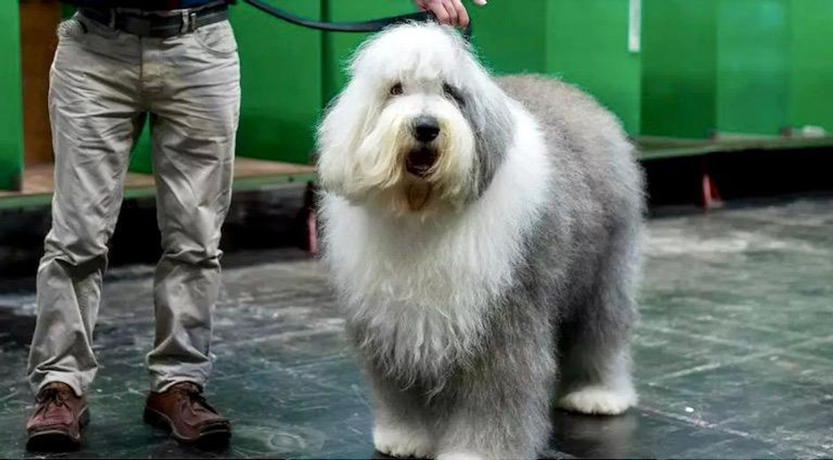 The Old English Sheepdog breed faces extinction in Britain