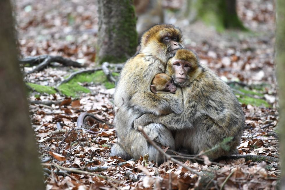 Monkeys break out of German zoo for third time in two weeks