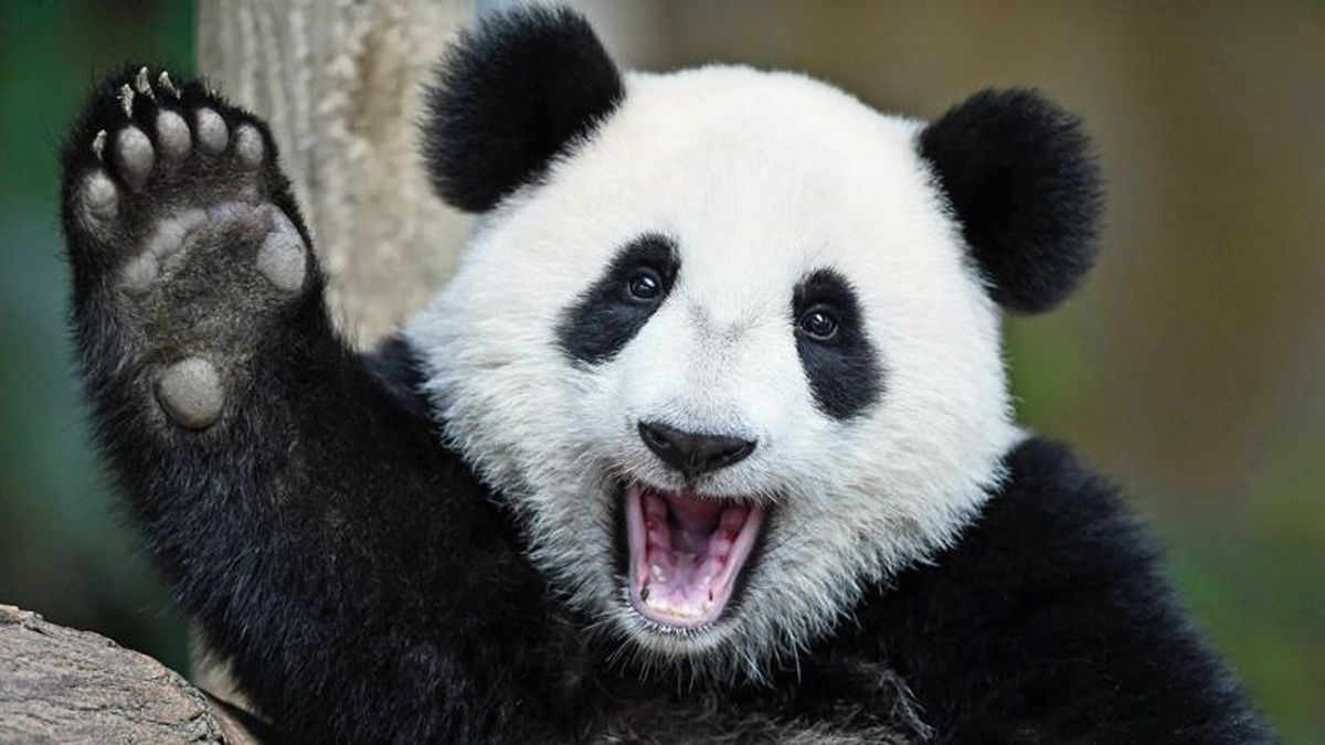 'Bring on the pandas': Could nature hold the key to finding bamboo in Arizona ballots?