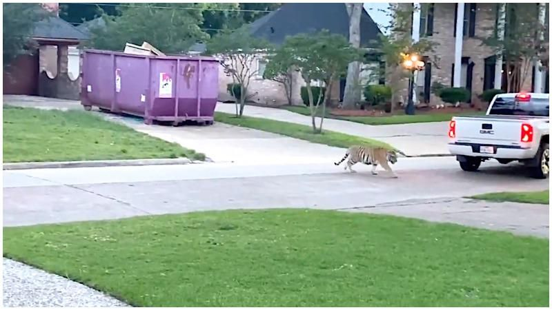 Tiger seen roaming through Texas neighborhood