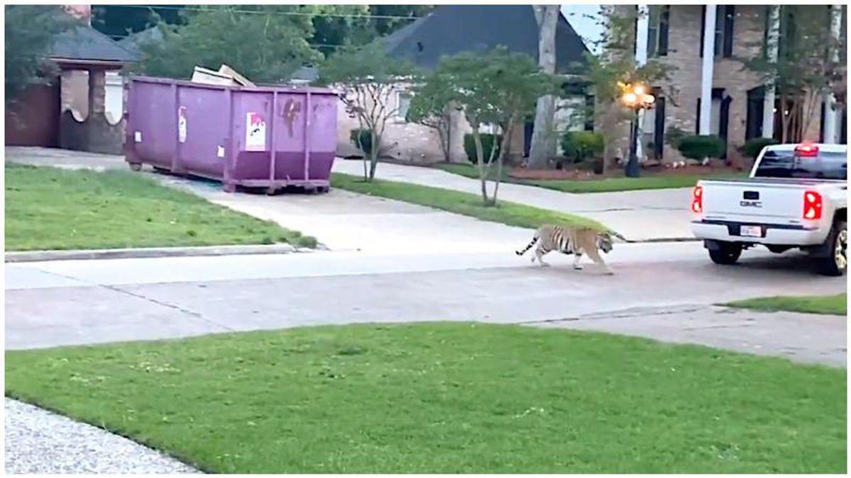 WATCH: Intense scene unfolds in Houston neighborhood as armed man confronts roaming tiger