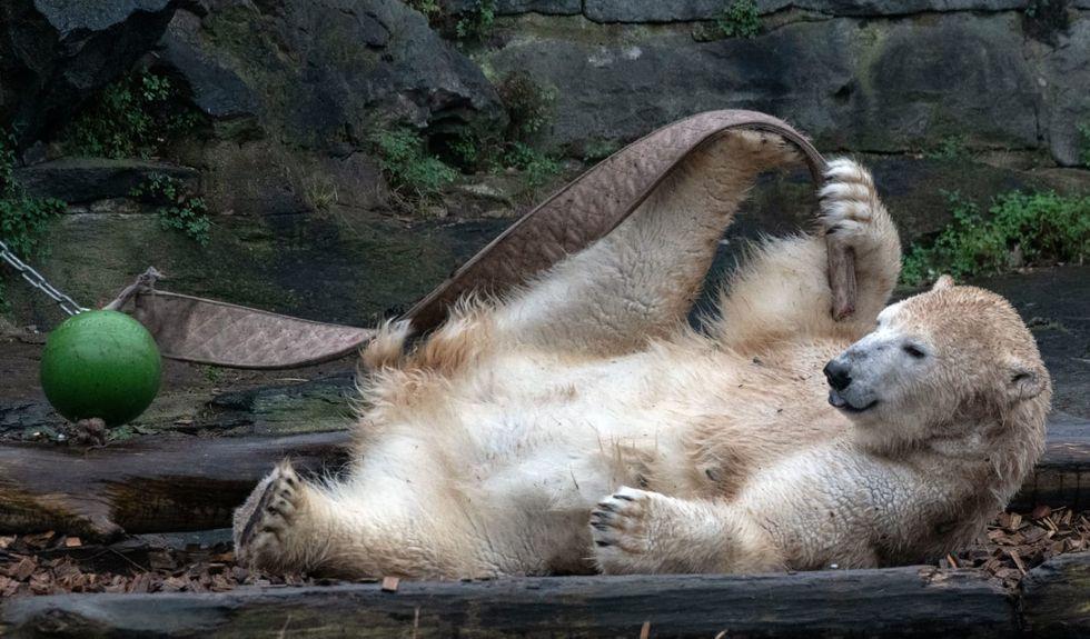 Shock as Berlin zoo reveals beloved polar bear's parents are siblings