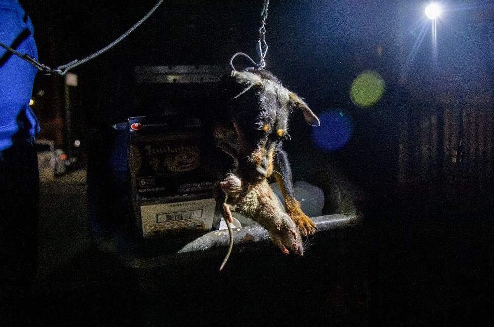 Rat killers of New York: dogs, volunteers hunt brazen rodents