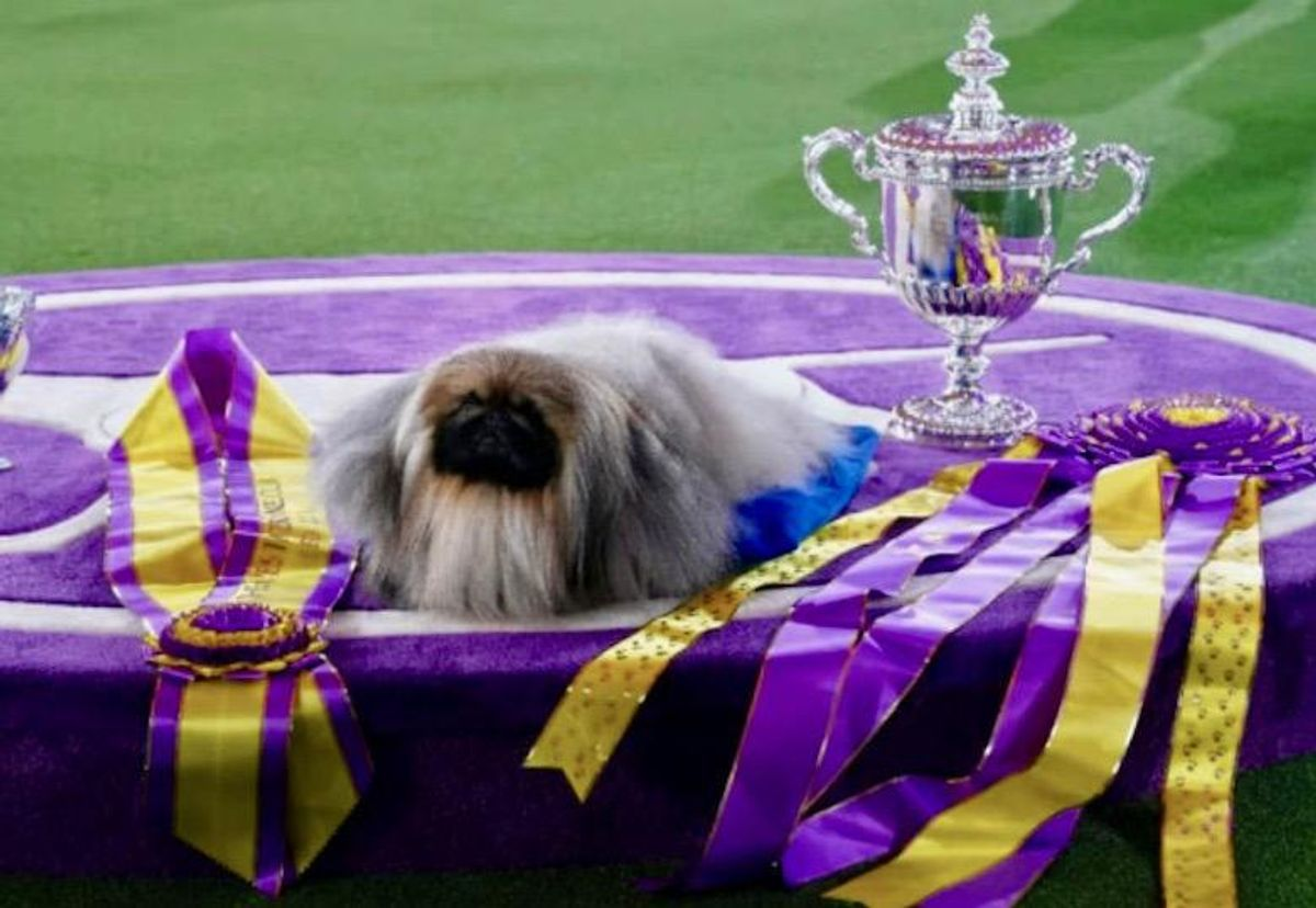 Wasabi the Pekingese named Westminster's 'Best in Show'
