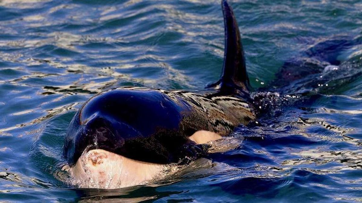 Baby orca dies in New Zealand after fruitless search for mother