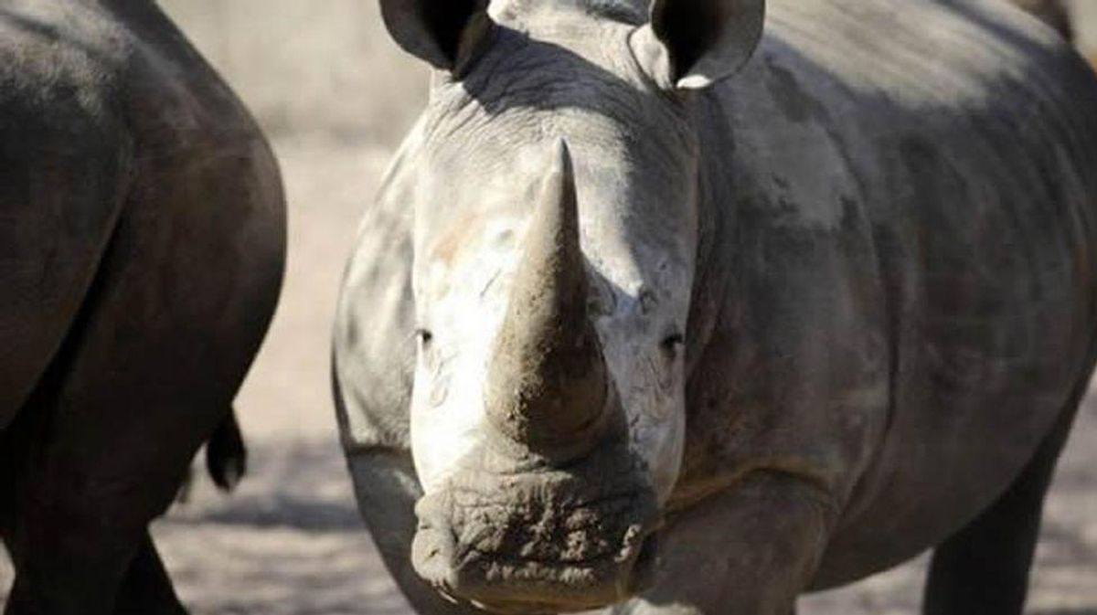 Irish gang on trial in France for alleged rhino horn smuggling