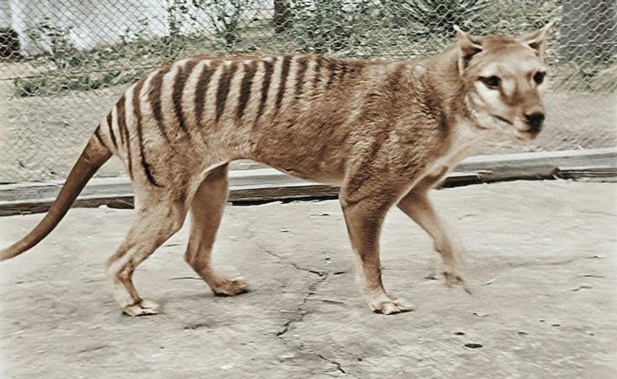 Extinct Tasmanian tiger brought to life in colour footage