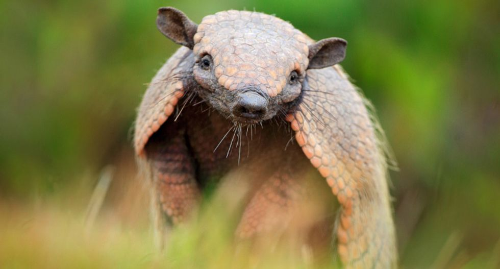 Humans gave leprosy to armadillos – now they are giving it back to us