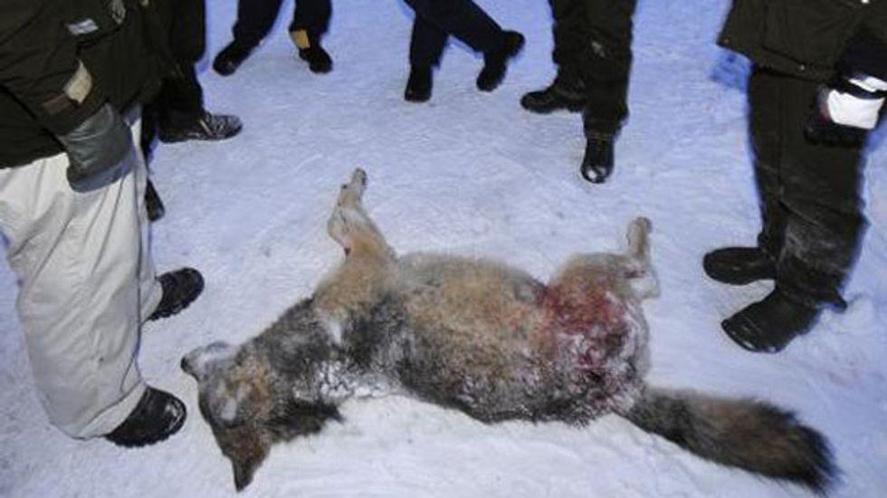 Environmentalists pledge to stop Swedish wolf hunt