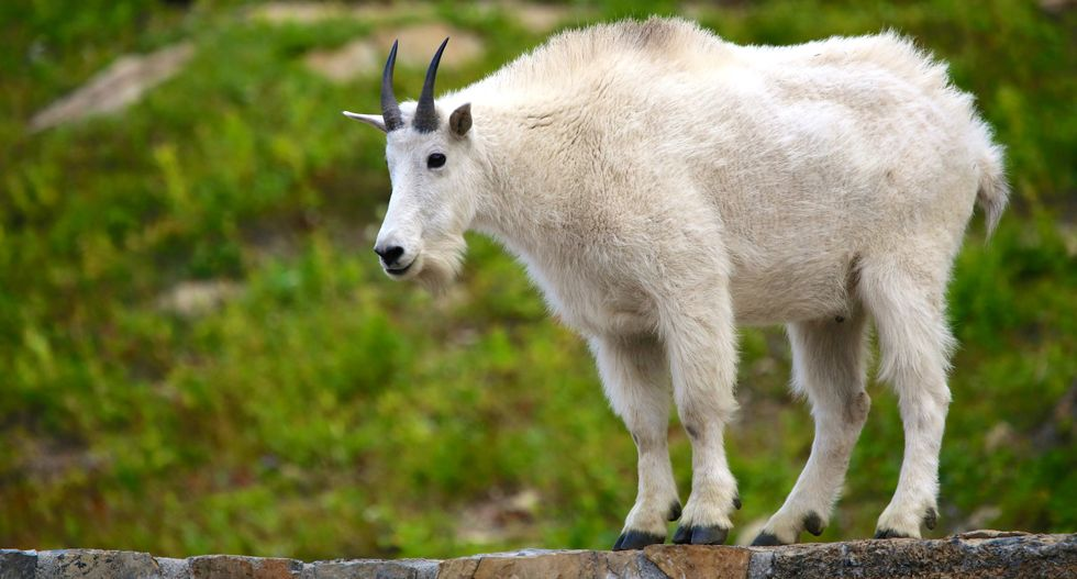 Mountain goat drowns trying to escape photo-taking crowd in Alaska
