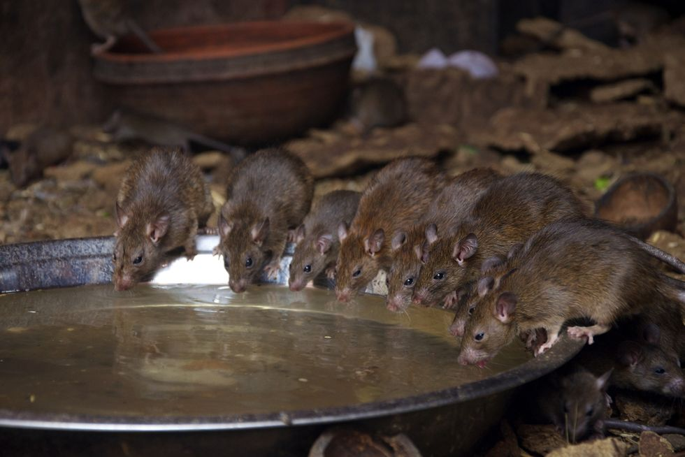 'Ghost' ship laden with diseased, cannibal rats could crash into British coast