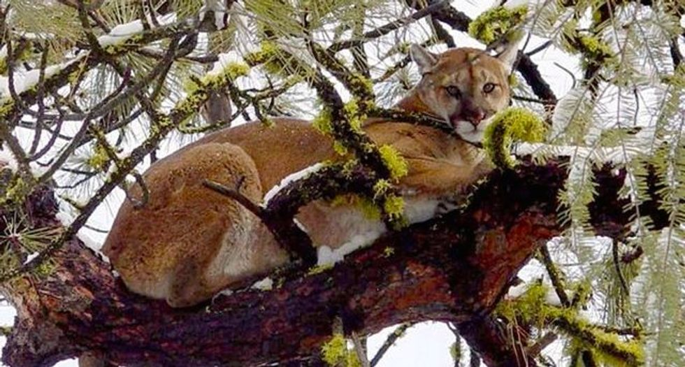 Family rescues Idaho girl from jaws of mountain lion