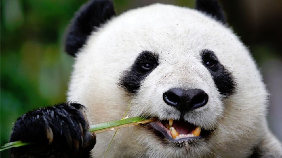 Bamboo-munching Giant Panda also has a sweet tooth, scientists find