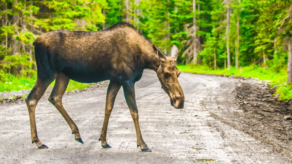 Maine moose population 'walking dead' after ticks drain blood due to climate change