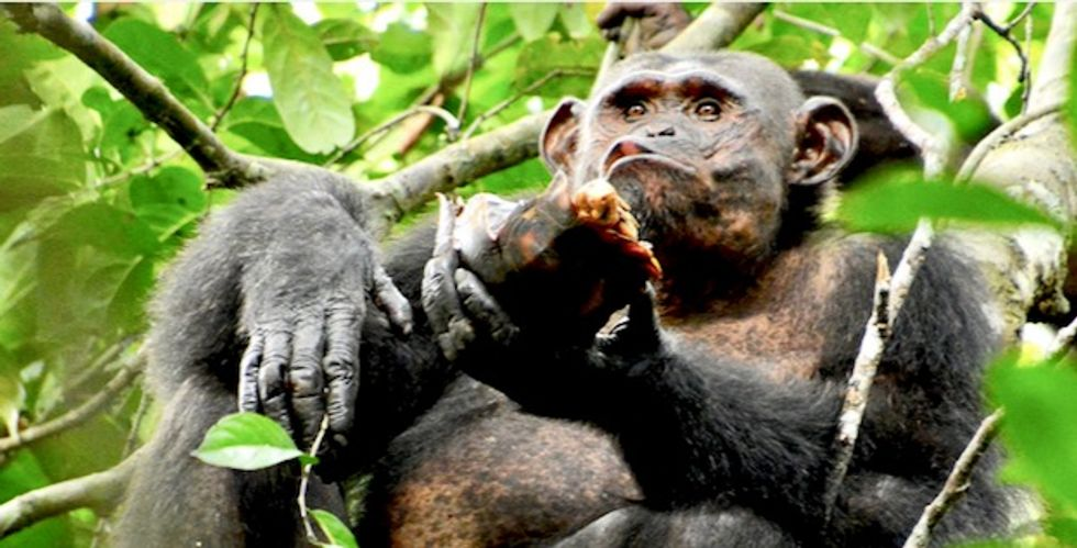 Chimpanzees spotted smashing open and eating tortoises for the first time
