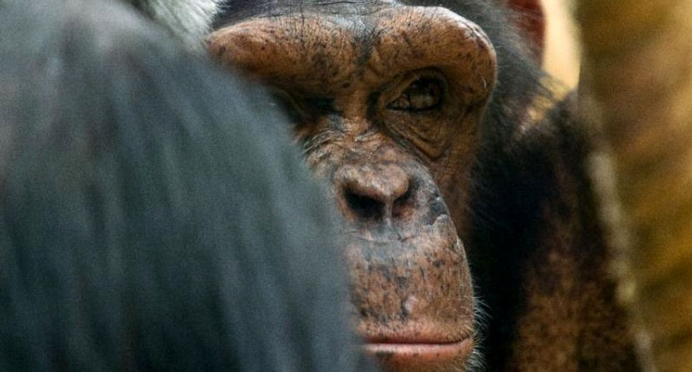 Outrage in Spain after police gun down escaped chimp