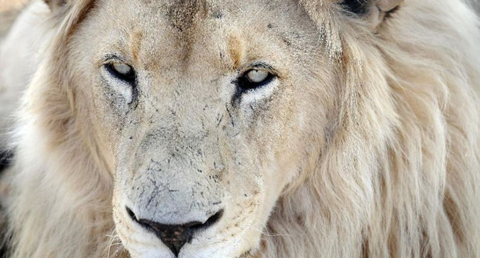 Lion among 23,000 species threatened with extinction: conservationists