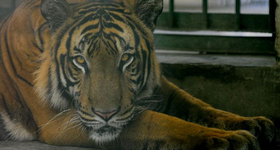 Thailand arrests two after finding tiger body parts in bag