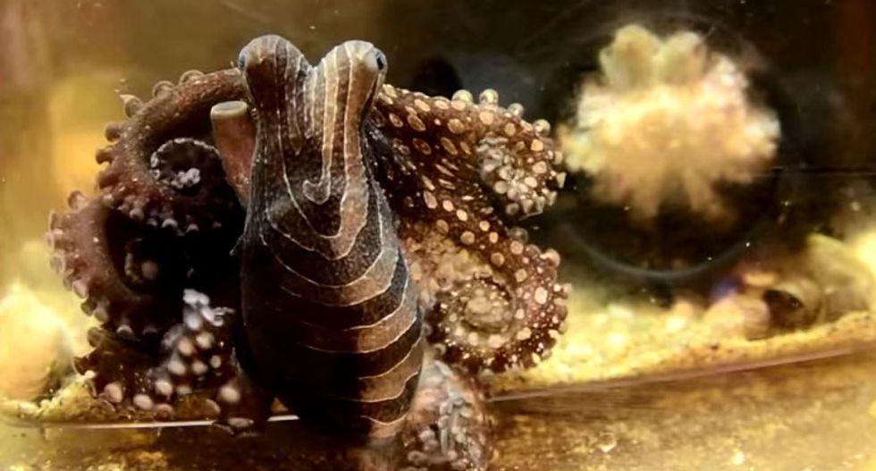 Seattle aquarium cancels octopus 'blind date' over cannibalism concerns