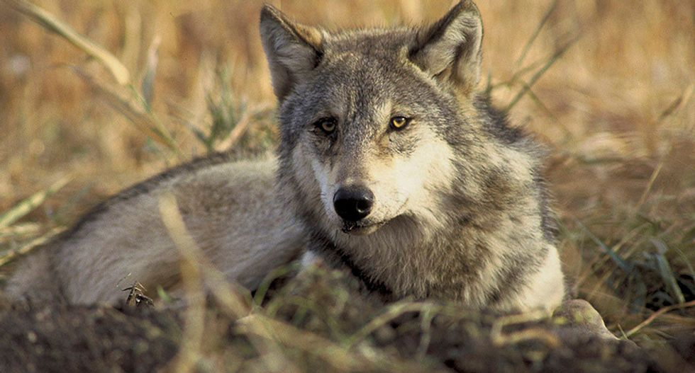Trump administration ends protections for iconic gray wolf