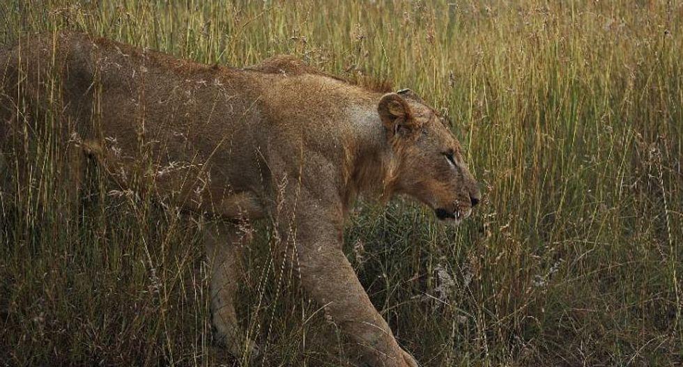 Eleven lions 'poisoned to death' in Uganda national park