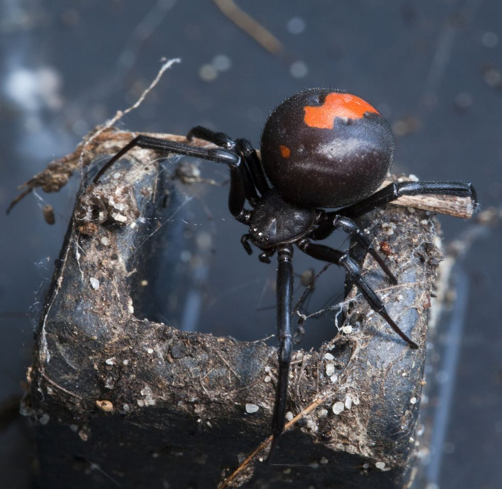 Deeply unlucky man gets bitten on penis by venomous spider