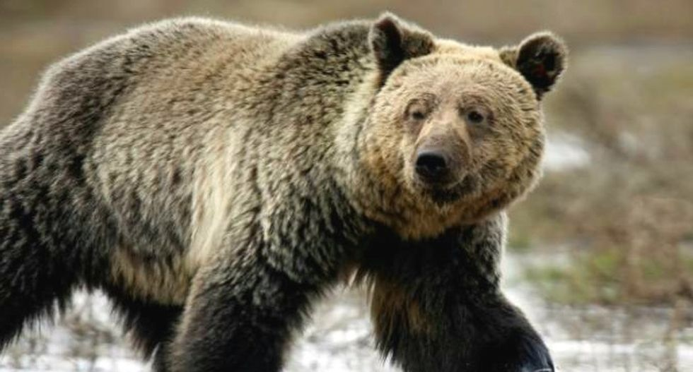 Conservationists threaten lawsuit over loss of grizzlies' federal protection