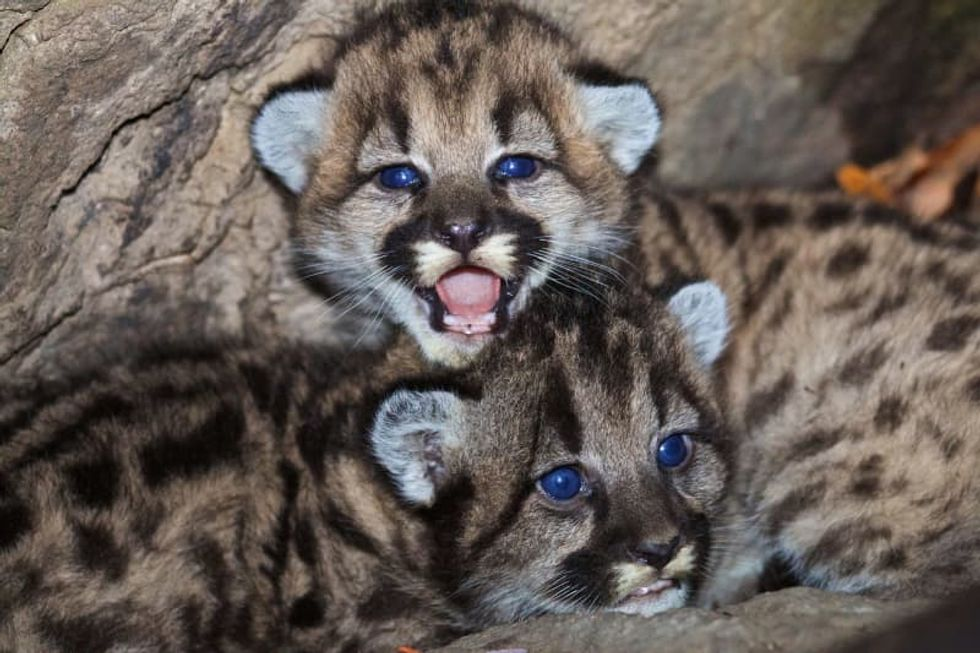 Gov. Gavin Newsom's dad helped protect California mountain lions -- now his son faces the fallout