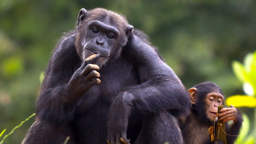Chimpanzees clobber humans in complex memory tests: study