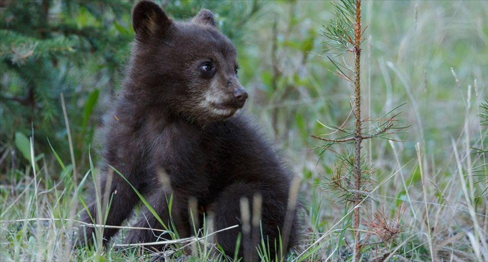 Investigators say dead bear cub found in Central Park was run over
