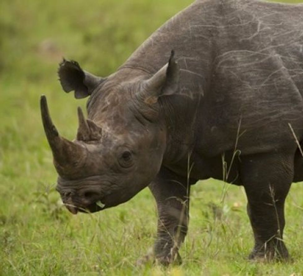Online rhino horn auction set to open in South Africa