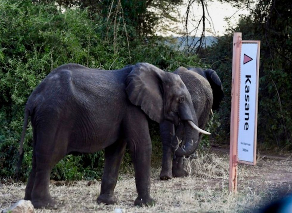 'Hundreds' of elephants being poached each year in Botswana: report