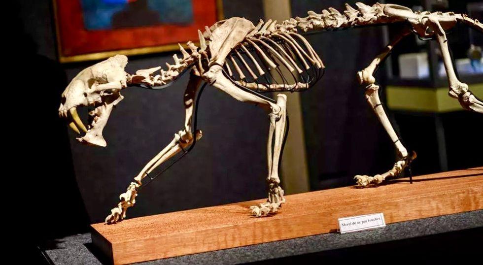 'Saber-toothed tiger' skeleton up for auction