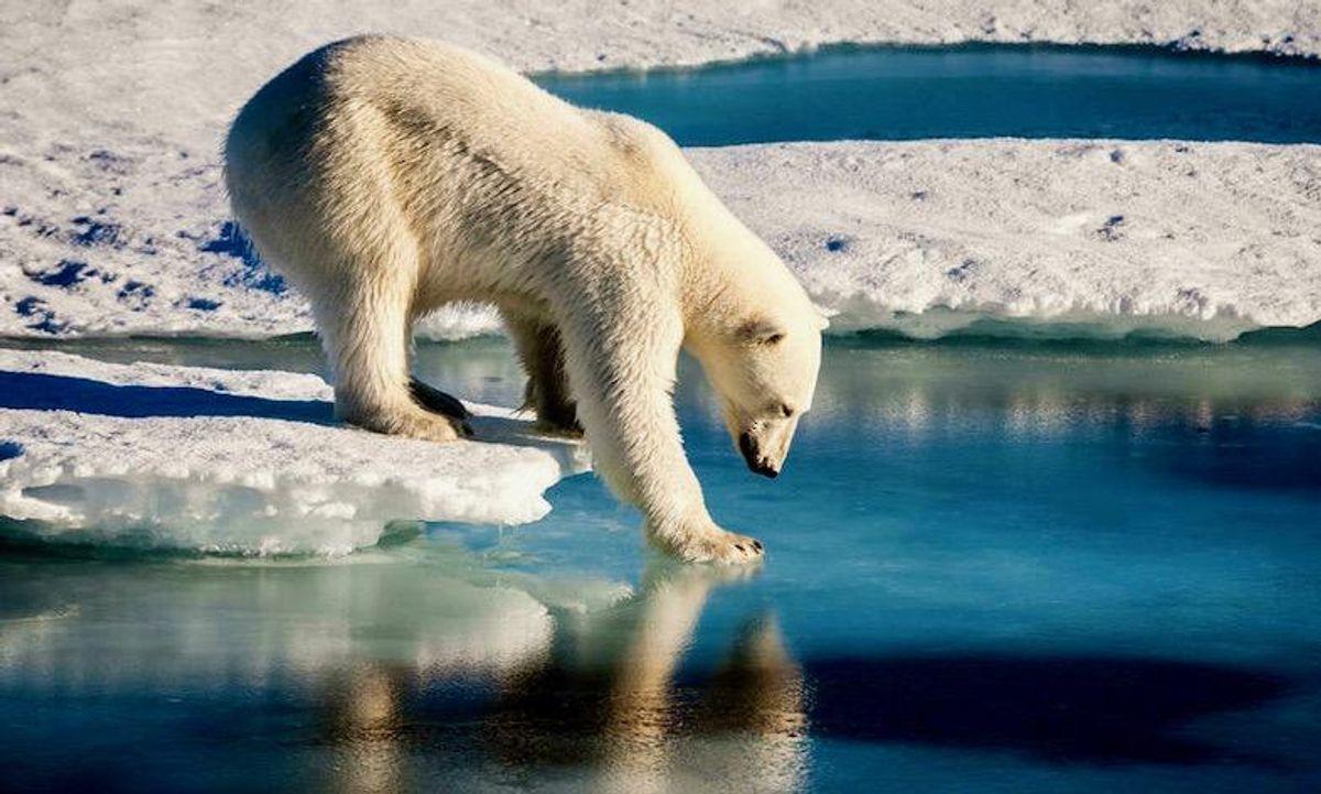 'Problematic' Greenland polar bear may be shot