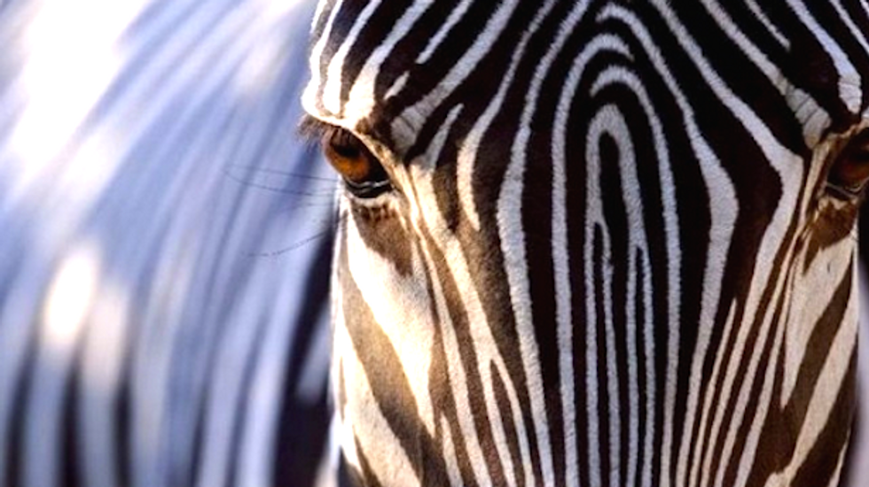 Scientists have a new theory to explain why zebras have stripes