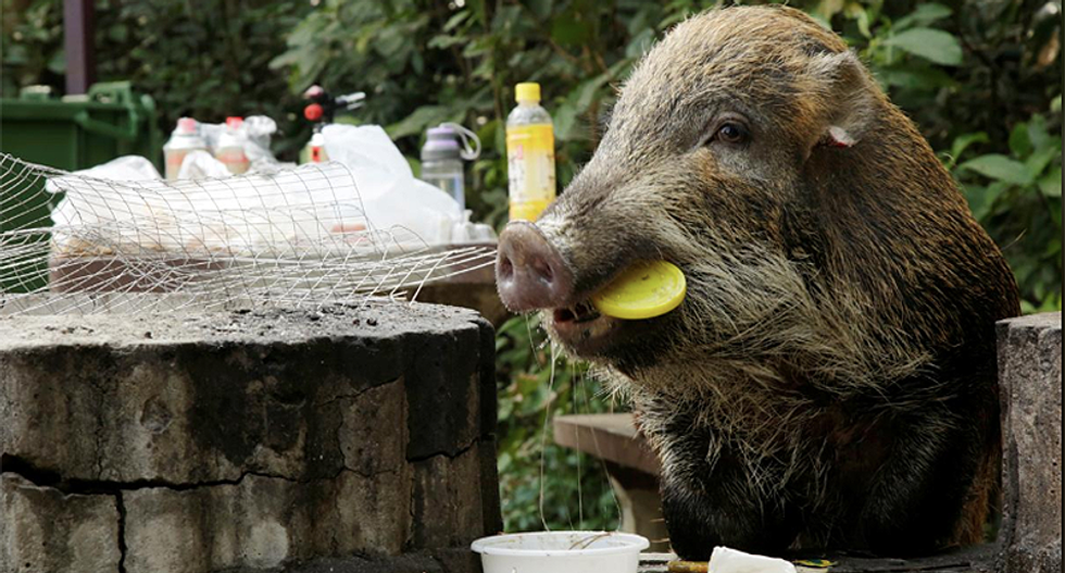 Hong Kong has a wild boar dilemma in the Chinese New Year of the Pig