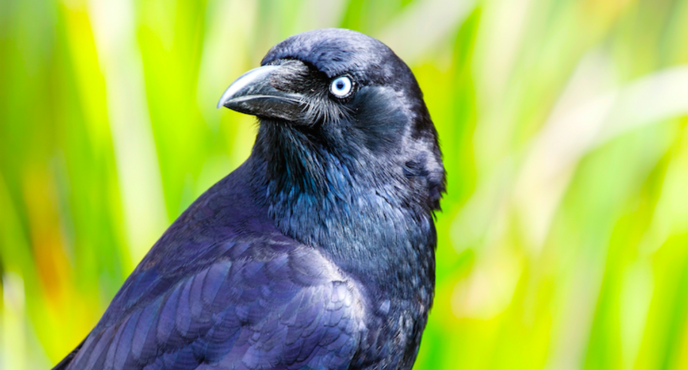 Eyes wide sideways -- Crows are left- or right-beaked