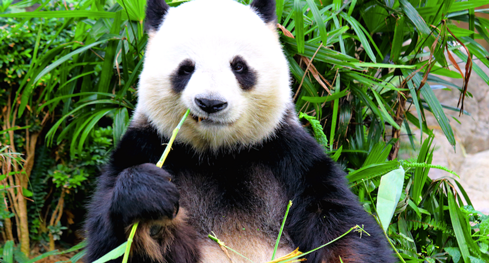 How much space do pandas need to survive?