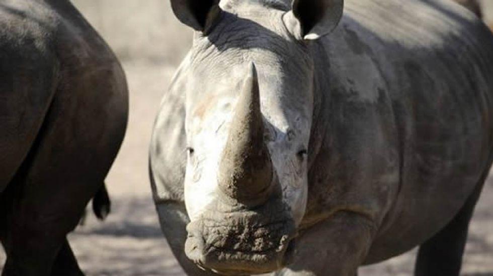 Already close to extinction, last male white rhino capable of breeding dies in Kenya