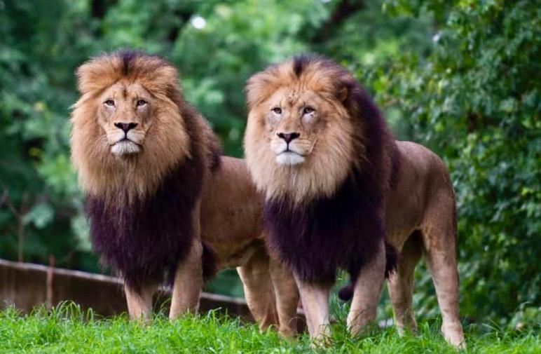 Coughs and lethargy: Lions, tigers at Washington zoo catch COVID